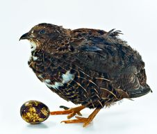 Free Quail With Its Egg Royalty Free Stock Photography - 16385227