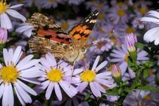 Painted Lady Butterfly, Vanessa Cardui Royalty Free Stock Photo