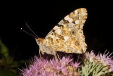 Painted Lady Butterfly, Vanessa Cardui Royalty Free Stock Photography