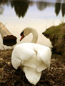 Free Mute Swan Royalty Free Stock Photos - 16386078