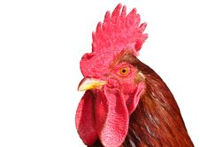 Free Isolated Rooster Portrait Stock Images - 16388944