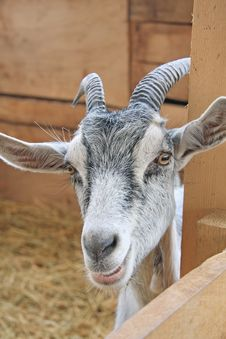 Free Young Goat Stock Images - 16389144