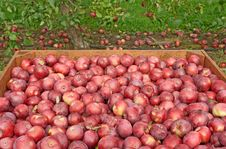 Free Freshly Picked Red Apples In A Crate Stock Photo - 16389730