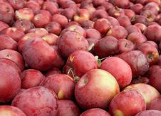 Free Many Freshly Picked Red Apples Stock Image - 16389731