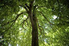 Free Horse Chestnut Tree Stock Photography - 16389732