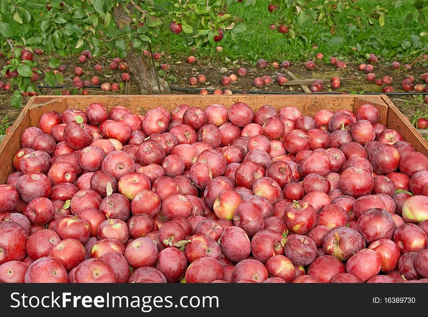 Freshly picked red apples in a crate