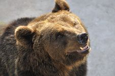 Free A Brown Bear Stock Image - 16390311