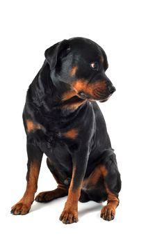 Free Rottweiler Stock Image - 16392041
