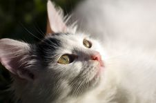Free White Cat Stock Image - 16392461