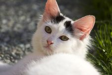 Free White Cat Royalty Free Stock Photos - 16392468