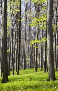 Free Spring Forest Royalty Free Stock Image - 16393176