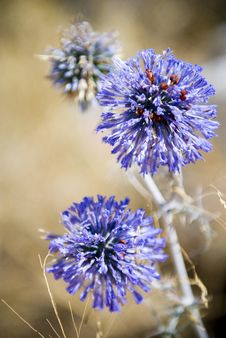 Free Blue Globe Thistle Macro Royalty Free Stock Images - 16393489