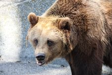 Free Bear Royalty Free Stock Photos - 16393558