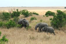 Free African Elephant In Kenya S Maasai Mara Royalty Free Stock Image - 16394326