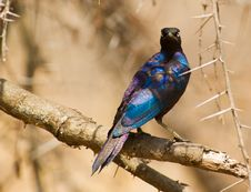 The Magnificent Rüppel´s Long-tailed Starling Royalty Free Stock Photos