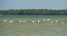 Free A Flock Of The Greater Flamingo Taking Off Royalty Free Stock Photos - 16394588