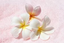 Flower, Leelavadee,Plumeria Royalty Free Stock Photos