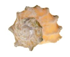 Free Isolated On White Light Shellfish Stock Image - 16395821