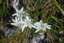 Free Edelweiss Flower, Alps. Royalty Free Stock Image - 16396926