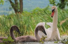 Free The Swan Family Royalty Free Stock Images - 16396979