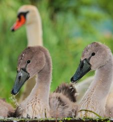 Free Young Swans Royalty Free Stock Photo - 16396985