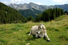 Free Alpine Cow. Stock Photography - 16397022
