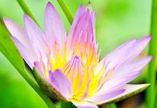 Free Lotus Flower Stock Image - 16398641