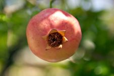 Free Pink Pomegranate Stock Images - 16398764