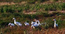 Free Goose Royalty Free Stock Photos - 16399348