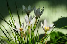 Free Zephyranthes Grandiflora Flower Stock Photography - 16399822