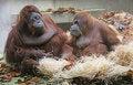 Free Orangutan 1 Royalty Free Stock Photos - 1641358