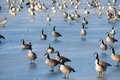Free Flock Of Geese On Ice Royalty Free Stock Images - 1643779