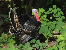 Free Turkey Royalty Free Stock Image - 1640616