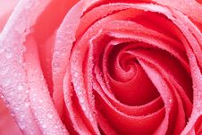 Free Rose Stock Images - 1641114