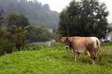 Free Cow On A Meadow Stock Photos - 1641203