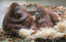 Free Orangutan 1 Royalty Free Stock Photos - 1641358