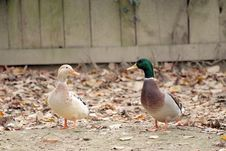 Couple Of Ducks Stock Photos