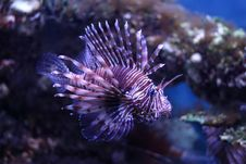 Pterois Volitans Royalty Free Stock Images