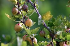 Free Gooseberries Royalty Free Stock Images - 1641789