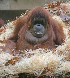 Free Orangutan 5 Stock Photography - 1641922