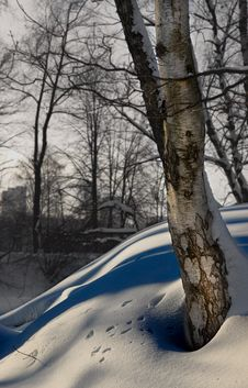 Birch In Winter Royalty Free Stock Image