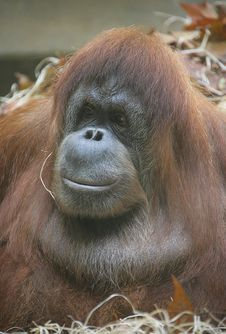 Free Orangutan 6 Royalty Free Stock Photo - 1642125