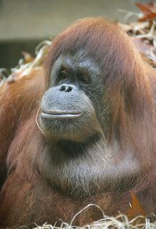 Free Orangutan 7 Royalty Free Stock Photo - 1642225