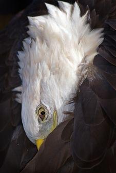 Free American Bald Eagle (Haliaeetus Leucocephalus) Preens Royalty Free Stock Image - 1642666