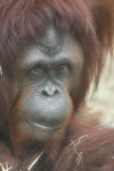 Free Orangutan ~1~ Royalty Free Stock Photos - 1643348