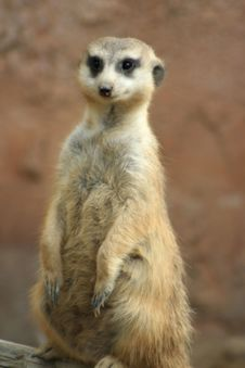 Free Meerkat Royalty Free Stock Images - 1643479
