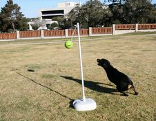 Free Rottweiler Tetherball Stock Photo - 1643750