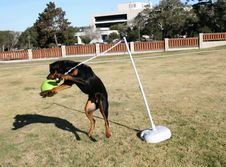 Free Rottweiler Tetherball Stock Image - 1643821