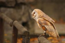 Free Tawny Owl Royalty Free Stock Photography - 1645217
