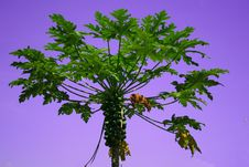 Free Papaya Tree With Purplish Skies Royalty Free Stock Photo - 1645225